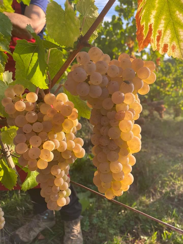 vendanges 2020 - domaine de l'oriel - 68 Niedermorschwihr Suite avec les Pinots Blancs et Auxerrois